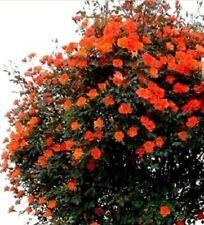 Climbing miniature patio rose Warm Welcome scented orange - red bare rooted