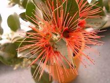 Australischer Weihnachtsbaum Zimmerpflanze gegen Mücken