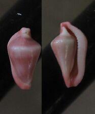 "Dentiovula horai,   ""SUPERB"", 14.7mm, F+++/GEM, great specimen"