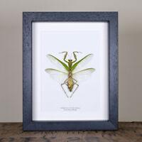 The Indochina Mantis in Box Frame (Hierodula patellifera)