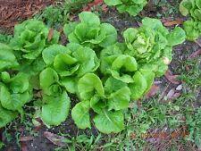 2000 Limestone BIBB LETTUCE Lactuca Sativa Seeds + Gift