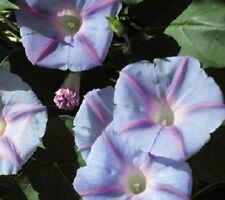 50 Morning Glory Seeds Blue Star Ipomoea Garden Starts Nursery
