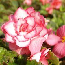 2 Giant Two-Tone Begonia 'Bouton de Rose' Tubers/Bulbs 7+ cm Shipping Mar 2018