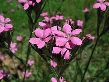 DIANTHUS ARMERIA SEEDS (Deptford Pink, Mountain Pink) 150 seeds