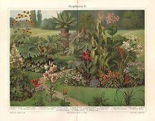 Zierpflanzen Cannabis indica  Ricinus communis  Agave  Lilie  Lithographie 1909
