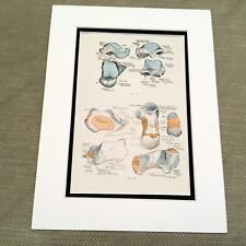 Antique Anatomical Print Human Anatomy talus bone astragalus Foot Feet