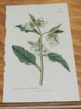 1817 Antique FLORAL COLOR Print/SYMPHYTUM ORIENTALE/White Comfrey/Hand-Colored
