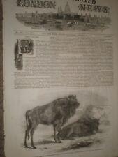 Aurochs at Regent's park Zoo london by Harrison Weir 1847 print ref AW