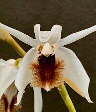 Coelogyne Species barbata 4N Selection Teilstück Orchidee Orchideen