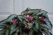 """Begonia Rex """"Color Vision"""" Pflanze 4"""" Kübel"""