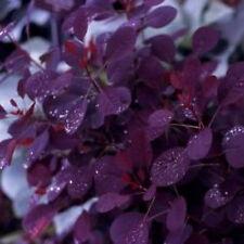 Purple Smoke Tree Cotinus coggygria var. purpurea 1 (2'-3') Nice