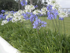 20+  AGAPANTHUS, BLUE aka  LILY OF THE NILE / PERENNIAL, EVERGREEN FLOWER SEEDS