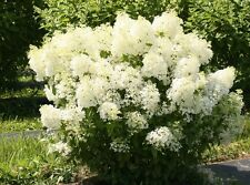 Proven Winners® Bobo Hydrangea Hardy Established Perennial 1 Quart Potted Plant