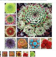 100 Pcs Amazing Sempervivum Plants Mixed Mini Garden Succulents Cactus Seeds