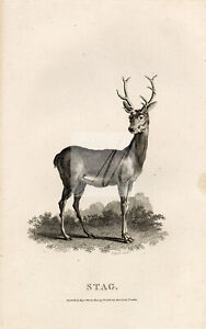 ANTIQUE Rural Sports 1807 Black and White Engraving of a Stag #F203