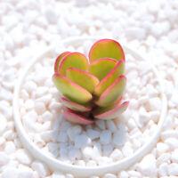 5cm 1-cut Echeveria Asaka Succulent live Plant Home Garden Flower pot