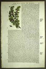 Botánica planta ÁRBOL EL ALERCE grabado grabado con acuarela, Matthiole 1572