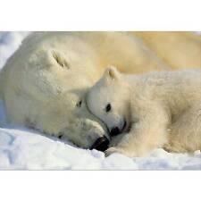 Komar Gallery Fototapete polar Bears 184x127 Cm 1-tlg.