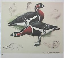 BEAUTIFUL VINTAGE BIRD PRINT ~ RED-BREASTED GEESE