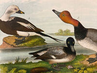Vintage 1890 Duck Color Bird Natural History Print Old Squaw Redhead Scaup