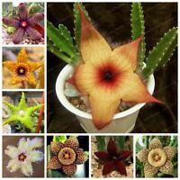 Succulents Plants Seeds 100 Pcs Stapelia pulchella Bonsai Stone Cactus Bonsai Li