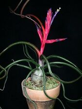 * Tillandsia Bulbosa * Air Plant * Bromeliad * VERY RARE * EasyGrowing * 5 Seeds