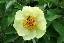 Whittmann's Peony, Peony (Paeonia wittmanniana) 7 seeds