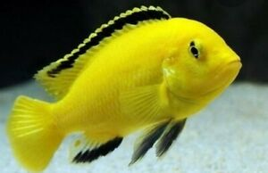 ASSORTED AFRICAN CICHLIDS , Text   your color choices