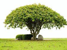 Pipal Ficus religiosa Baum Samen VERSANDKOSTENFREI !!!