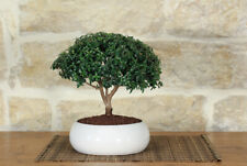 Myrtle bonsai in a shallow bowl