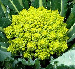 "Broccoli ""Romanesco"" x 100 seeds"