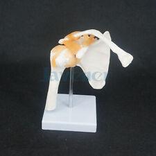 Life Size Shoulder Joint Anatomical Model Skeleton Human Medical Anatomy