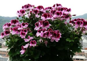 Flowers Geranium Colorful Butterfly Blackish Red White Rare Plant Garden 10Seeds