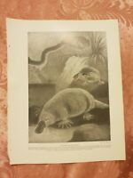 Duck-Billed Platypus - Vintage Book Print