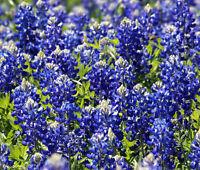 Morning Glory céleste bleu Ipomoea Tricolor 2,000 en vrac non traité Graines