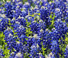 TEXAS BLUEBONNET  Lupinus Texensis - 5,000 Bulk Seeds