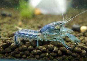 5 Blue MexicanDwarf Crayfish Lobster