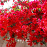 100 PCS Seeds Red Bougainvillea Spectabilis Flowers Perennial Bonsai Plants Rare