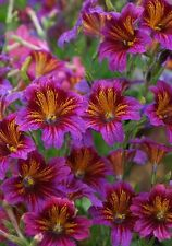Purple Salpiglossis Seeds 50 Pelleted Seeds Stained Glass Flower