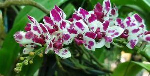 Orchid plant Rhy gigantea 'Cartoon' Large Bloom Size