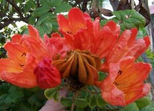 Spathodea campanulata Fountain Tree, African Tulip, Pichkari or Nandi 50 seeds