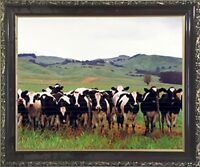 JERSEY CATTLE POSTER PICTURE PHOTO PRINT cow dairy bessie milk brown 4630