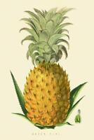 Queen Pine Pineapple Illustration 1874 Art Print Poster 24x36 inch