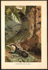 1890 Lithographie Insectes Coléoptères Scarabées Capricorne du chêne