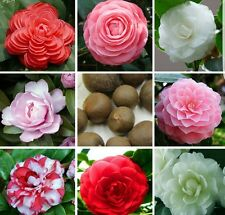 Camelia mixed colours and hybrids, fresh seeds! Hardy flowering shrub!