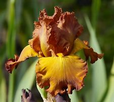 "TALL BEARDED IRIS GERMANICA ""TABAC BLOND"" Rhizome. Delivery August/September"