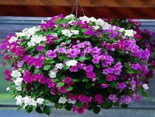 50 Impatiens Seeds Accent Premium Pastel Mix Flower Seeds