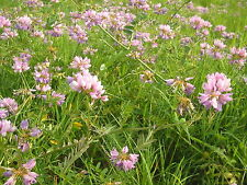 Flower Seed: Penngift Crown Vetch 100+ Seeds   Fresh Seed  FREE Shipping
