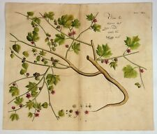 "Van Rheede's - ""OREN LAV.""  from Hortus Indicus Malabaricus, Engraving  -1686"