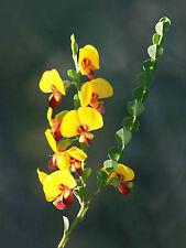 BACON AND EGG BOSSIAEA SEEDS BOSSIAEA RHOMBIFOLIUM NATIVE FLOWERING 50 SEED PACK